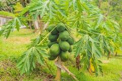 Crescita di frutti verde della papaia sull'albero di papaia Immagini Stock