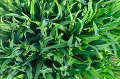 Crescita di giovane vegetazione della molla con l'inizio della stagione primaverile Immagini Stock Libere da Diritti