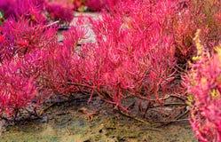 Crescita di maritima di Seablite Sueda in suolo acido Piante dell'indicatore del suolo acido Seablite rosa Piante amorose acide G immagini stock libere da diritti