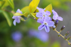 Crescita di molti piccola fiori porpora su un albero Fotografia Stock