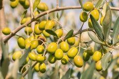 Crescita di olive spagnola verde matura su di olivo con fondo vago Fotografia Stock Libera da Diritti
