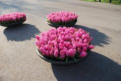 Crescita di piante rosa di Hyacinth Hyacinthus in vaso da fiori di pietra Immagini Stock Libere da Diritti