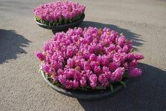 Crescita di piante rosa di Hyacinth Hyacinthus in vaso da fiori di pietra Fotografie Stock