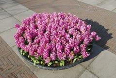 Crescita di piante rosa di Hyacinth Hyacinthus in vaso da fiori di pietra Fotografia Stock Libera da Diritti