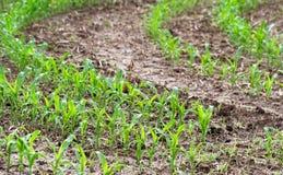 Crescita di raccolti del cereale nelle file in Farmer& x27; campo di s Fotografie Stock