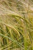 Crescita di raccolto del frumento nel campo Fotografia Stock Libera da Diritti