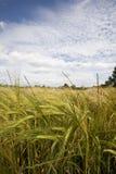 Crescita di raccolto del frumento nel campo Fotografia Stock