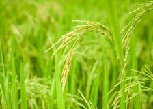 Crescita di raccolto del riso sulla piantagione Fotografia Stock