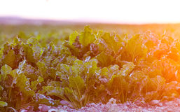 crescita di raccolto nell'Idaho Fotografia Stock