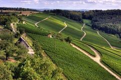 Crescita di vino Immagini Stock