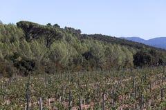 Crescita di vino nel sud della Francia Fotografia Stock Libera da Diritti