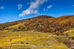 Crescita di vino sulla collina con i terrazzi Fotografia Stock