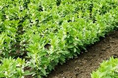 Crescita fagioli di fava o vasti Immagine Stock