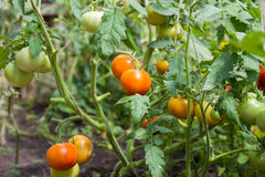 Crescita fresca dei pomodori Fotografie Stock Libere da Diritti