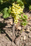 Crescita matura dell'uva Fotografie Stock Libere da Diritti