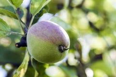 Crescita mela verde e rossa sul ramo di albero Agricoltura e gardenin Fotografie Stock Libere da Diritti