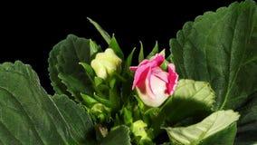 Crescita metallina dei germogli di fiore di Gloxinia di ALFA video d archivio