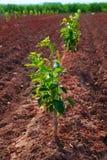 Crescita molto giovane degli alberi di cachi Immagini Stock