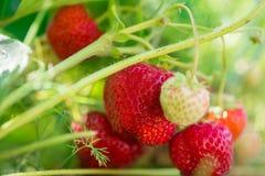 Crescita organica della fragola in pianta Fotografia Stock