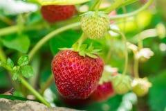 Crescita organica della fragola in pianta Immagine Stock Libera da Diritti