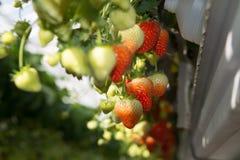 Crescita organica saporita della fragola in grande serra olandese, everyda Fotografie Stock Libere da Diritti