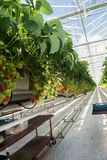 Crescita organica saporita della fragola in grande serra olandese, everyda Fotografie Stock