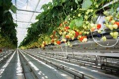Crescita organica saporita della fragola in grande serra olandese, everyda Fotografia Stock Libera da Diritti