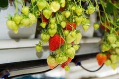 Crescita organica saporita della fragola in grande serra olandese, everyda Fotografia Stock