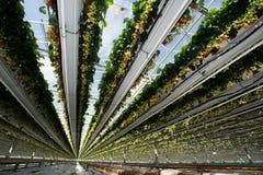 Crescita organica saporita della fragola in grande serra olandese, everyda Immagine Stock