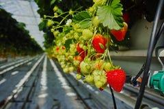 Crescita organica saporita della fragola in grande serra olandese, everyda Immagini Stock