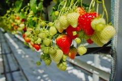 Crescita organica saporita della fragola in grande serra olandese, everyda Immagini Stock Libere da Diritti