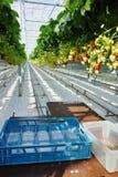 Crescita organica saporita della fragola in grande serra olandese, everyda Immagine Stock Libera da Diritti