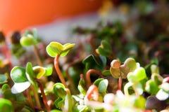 Crescita organica verde dei germogli Fotografia Stock