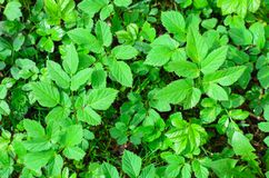 Crescita rapida di giovane vegetazione della molla con l'inizio della stagione calda Fotografia Stock