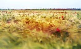 Crescita rossa dei papaveri Fotografia Stock
