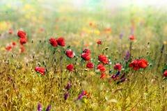 Crescita rossa dei papaveri Fotografie Stock