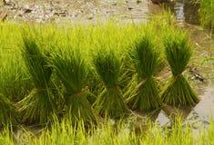 Crescita tailandese del riso di stile Fotografie Stock Libere da Diritti