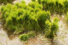 Crescita tailandese del riso di stile per piantare Immagini Stock