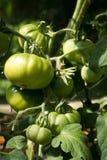 Crescita verde dei pomodori Immagini Stock Libere da Diritti