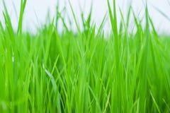 Crescita verde del riso su nella fine sulla vista del fondo Fotografie Stock Libere da Diritti