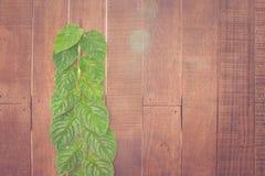Crescita verde dell'edera sulla parete di legno per la decorazione del giardino al giardino all'aperto fotografia stock libera da diritti