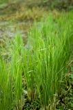Crescita verde fresca del riso Immagine Stock