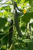 Crescita verde organica saporita dei cetrioli in grande serra olandese, ev Immagine Stock