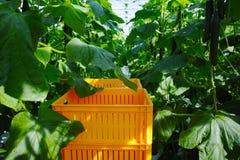 Crescita verde organica saporita dei cetrioli in grande serra olandese, ev Immagini Stock