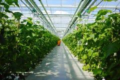 Crescita verde organica saporita dei cetrioli in grande serra olandese, ev Fotografie Stock Libere da Diritti