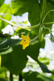 Crescita verde organica saporita dei cetrioli in grande serra olandese, ev Fotografia Stock Libera da Diritti