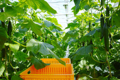 Crescita verde organica saporita dei cetrioli in grande serra olandese, ev Fotografie Stock