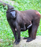 Cresed Macaque. An endangered Sulawesi Crested Macaque female alert to her surroundings as her baby clings onto her stomache royalty free stock image