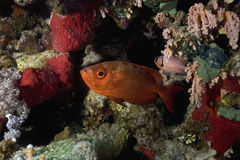 Cresent-tail bigeye (Priacanthus hamrur). Taken in the Red Sea Royalty Free Stock Photo