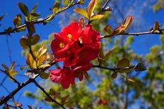 Crespón Myrtle Blossom Imagenes de archivo